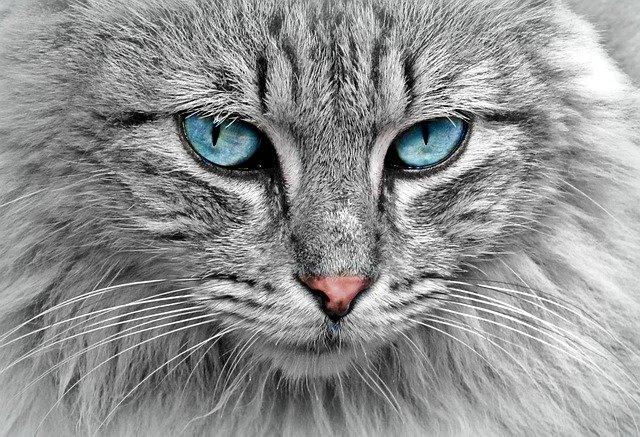 Il gatto: un killer micidiale e bellissimo